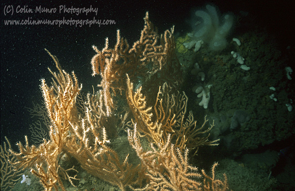 Dense cluster of large seafans (Eunicella verrucosa) typical of East Tennants Reef.  Marine Bio-images.