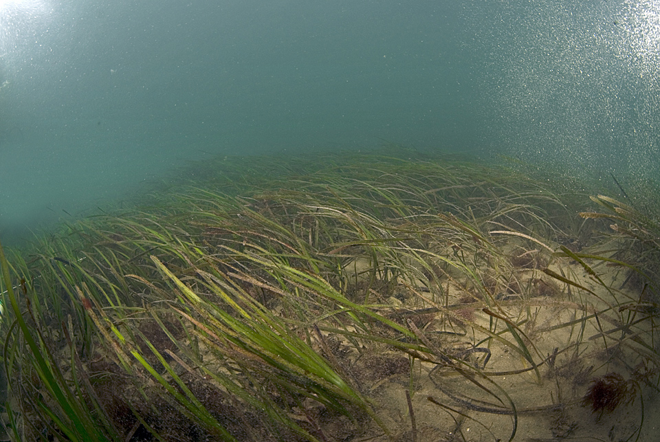 Still from our drop camera system taken during a seagrass (Zostera marina) survey