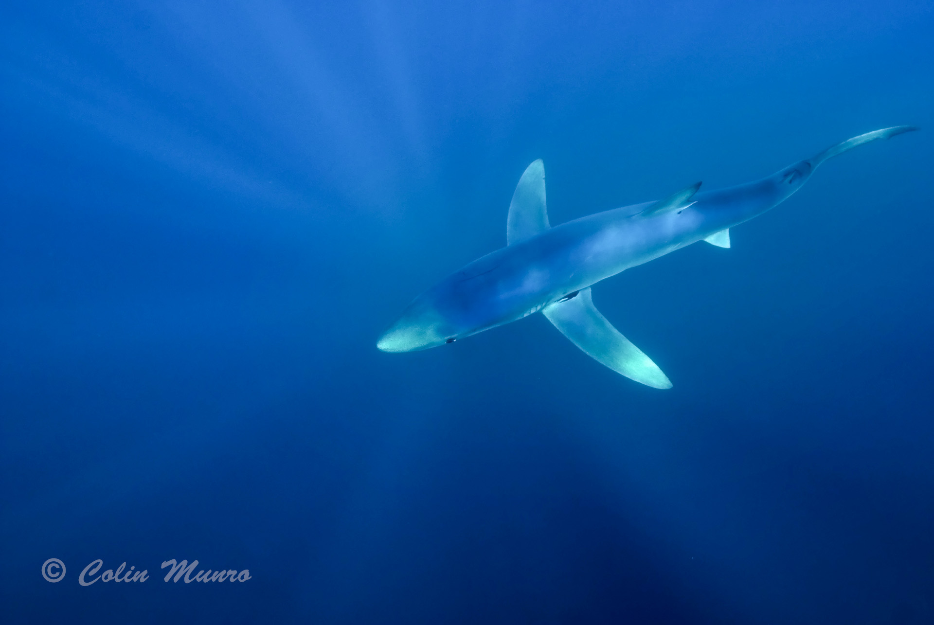 Blue shark, Prionace glauca. A female blue shark swimming close to the surface off Southwest Cornwall, UK. www.colinmunrophotography.com