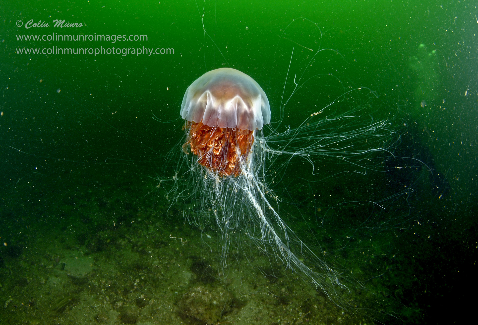 Lion's mane jellyfish, Cyanea capillata, underwater clearly showing tentacles trailing in many directions. Colin Munro Photography
