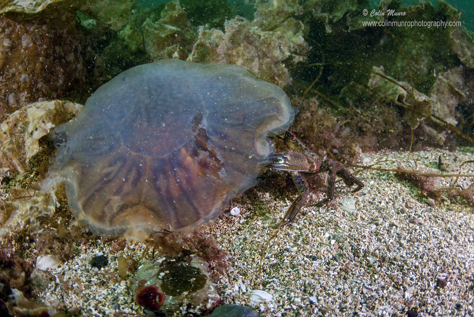 Dying lion's mane jellyfish (Cyanea capillata) that has sunk to the seabed being eaten by a velvet swimming crab (Necora puber).