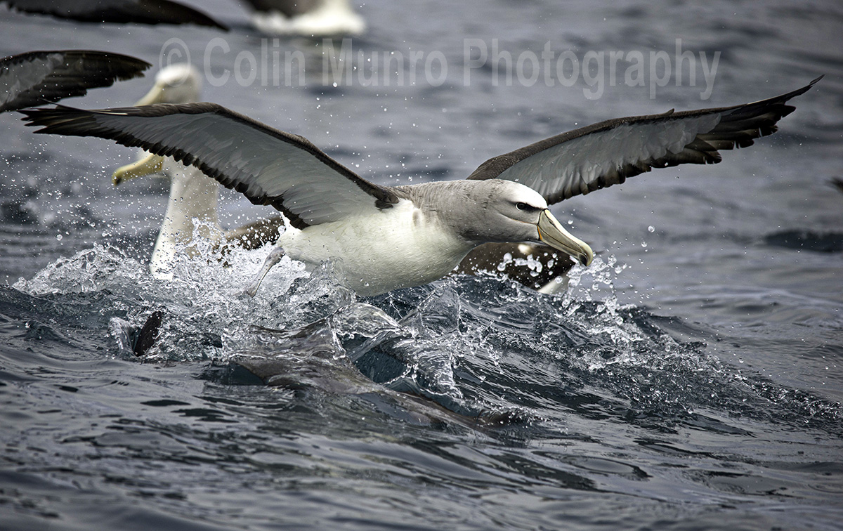 A Salvin's Albatross taking off. Kaikoura, New Zealand. © Colin Munro Photography. www.colinmunrophotography.com
