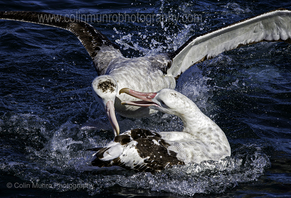 Two wandering albatross squabbling over food. © Colin Munro Photography www.colinmunrophotography.com